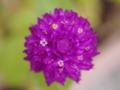[花][ライトトーン]千日紅