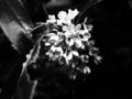 [花][ラフモノクローム]金木犀
