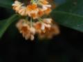 [花][ファンタジックF]金木犀