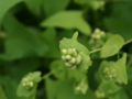 [植物]イシミカワ