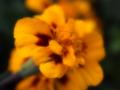 [花][ファンタジックF]マリーゴールド