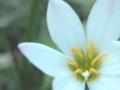 [花][デイドリーム]玉簾