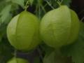 [植物]風船蔓