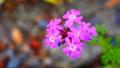 [花][ポップアート]バーベナ・テヌイセクタ
