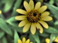 [花][ドラマチックトーン]メランポディウム