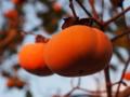 [植物]柿