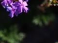 [花]バーベナ・テヌイセクタ