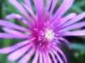 [花][ファンタジックF]松葉菊