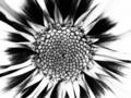 [花][ラフモノクローム]セイスナップ