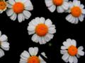 [花][ポップアート]野路菊