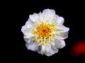 [花][名称不明][ポップアート]白い花