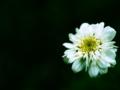 [花][名称不明][クロスプロセス]白い花