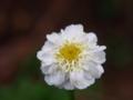 [花][名称不明]白い花