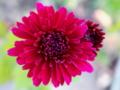 [花]ロリポップレッド