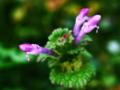 [花][クロスプロセス]仏の座