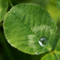 [植物]水玉クローバー