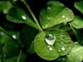 [植物][トイフォト]水玉クローバー