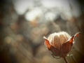 [植物][トイフォト]枯れ芙蓉