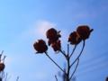 [植物][ポップアート]枯れ芙蓉