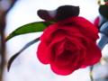 [花][ポップアート]つばき