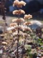 [植物]枯れ段菊