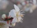 [花][ライトトーン]梅(白)