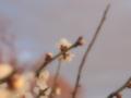 [花][ファンタジックF]梅(白)