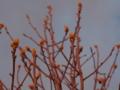 [植物]白木蓮の蕾