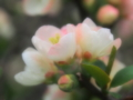 [花][ファンタジックF]木瓜(白)