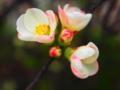 [花][ポップアート]木瓜(白)