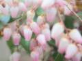 [花][ファンタジックF]馬酔木(ピンク)