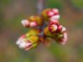 [花][ポップアート]桜のつぼみ