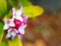 [花][ポップアート]沈丁花
