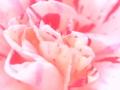 [花][ウォーターカラー]椿 赤白混合