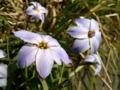 [花][XperiaSX]花にら