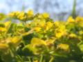 [花][ファンタジックF]野漆