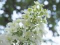 [花][ノンフィルター]柏葉紫陽花