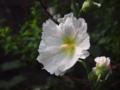 [花][ノンフィルター]タチアオイ