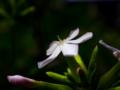 [花][ポップアート]ルリマツリ
