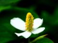 [花][ポップアート]ドクダミ