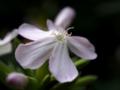 [花][ノンフィルター]ルリマツリ