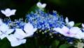 [花][ジオラマ]紫陽花