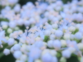 [花][ファンタジックF]紫陽花