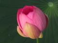 [花]古代蓮