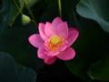 [花][ジオラマ]古代蓮