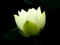 [花]アメリカ黄蓮
