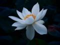 [花][トイフォト]アメリカ黄蓮