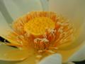 [花][ジオラマ]アメリカ黄蓮