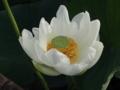 [花][ノンフィルター]漢蓮