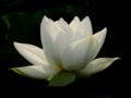 [花][ジオラマ]漢蓮